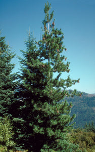 Western White Pine | Small Tree Seedling | The Jonsteen Company