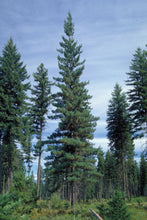 Load image into Gallery viewer, Western White Pine | Small Tree Seedling | The Jonsteen Company