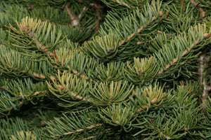Christmas Tree | White Fir | The Jonsteen Company