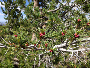 Whitebark Pine | Seed Grow Kit | The Jonsteen Company