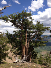Load image into Gallery viewer, Whitebark Pine | Seed Grow Kit | The Jonsteen Company