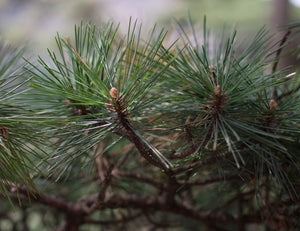 Yellow Mountain Pine | Small Tree Seedling | The Jonsteen Company