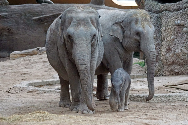 Endangered Asian Elephants