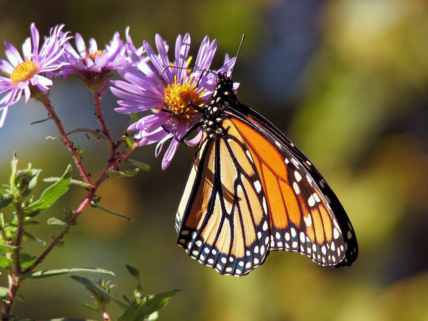 Why There Is A 90 Percent Drop In The Monarch Butterfly Population ?