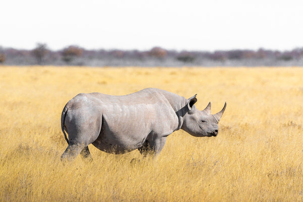 Northern White Rhinoceros and their Conservation