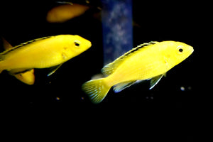 "Labidochromis caeruleus ""Electric Yellow Lab"" - Bobby G's Cichlid Craze"