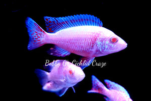 Albino Pearl Red Dragon Blood - Bobby G's Cichlid Craze
