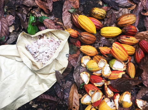 cacao pods at oko caribe