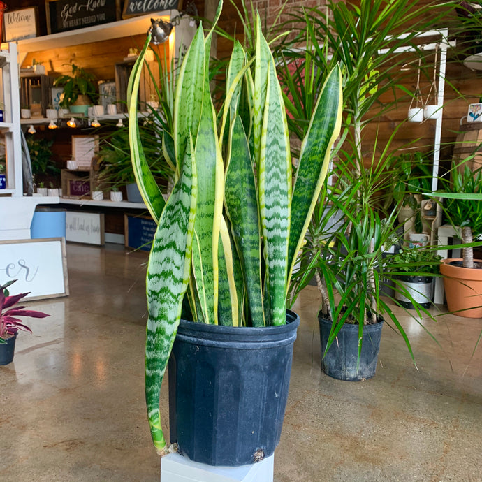 SNAKE PLANTS: WHAT YOU NEED TO KNOW