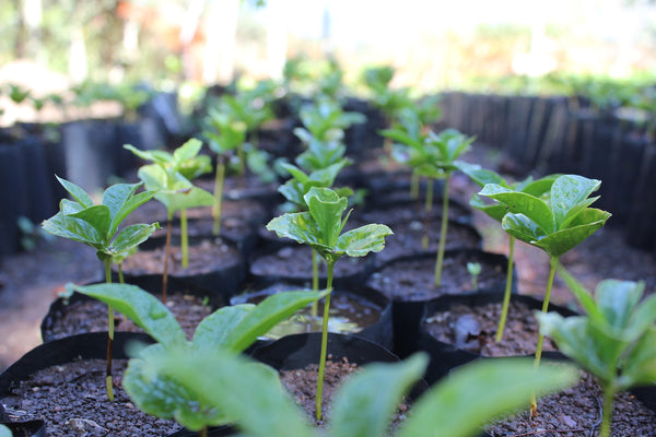 Coffee Seedlings Zero Waste