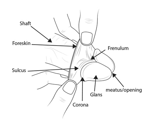 Glans of penis- Phimostretch