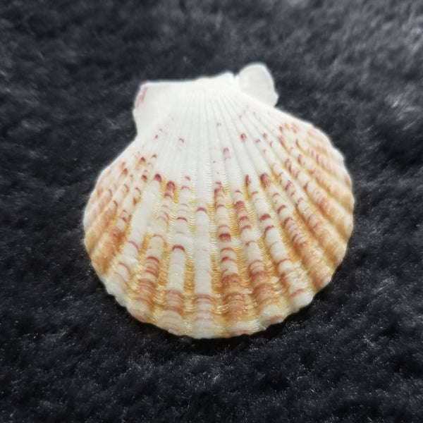 Add-on Only: Seashell