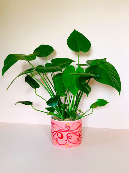 Monstera Deliciosa in Ceramic Pot