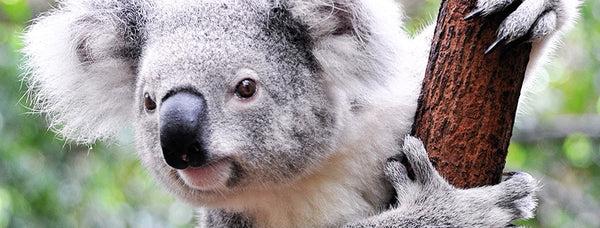 Australia's sleepiest little inhabitant--the Koala!
