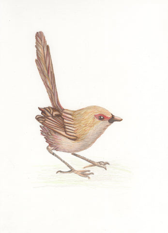 Fairy Wren Sketch