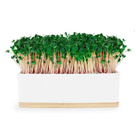 URBAN GREENS Mini Garden Sprouts Kit Pink Kale 20x8x7cm