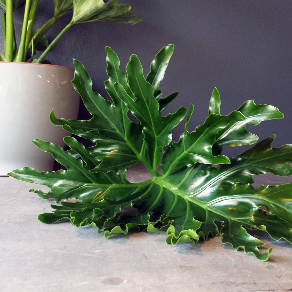 HOW TO: Caring For Your Hope Philodendron