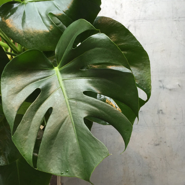 Monstera - Splitleaf