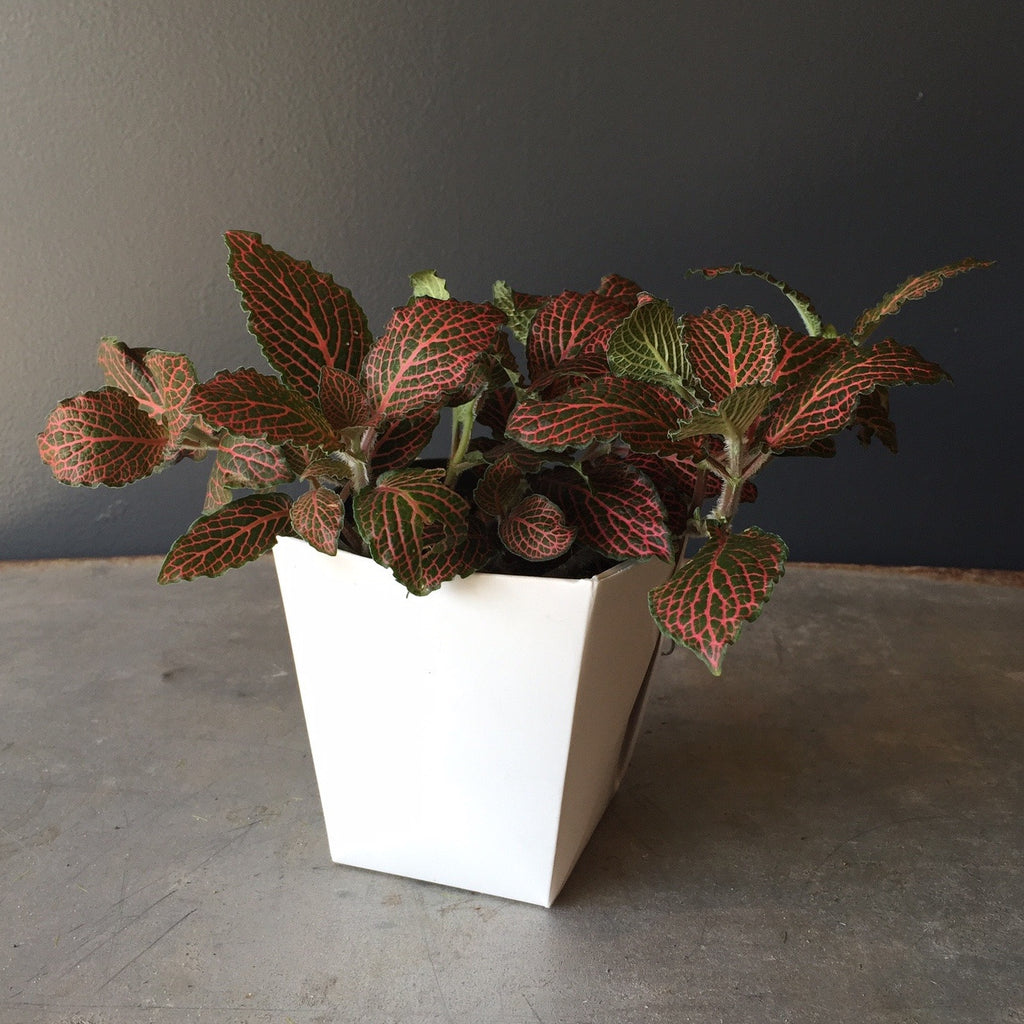 Houseplant - Fittonia Red