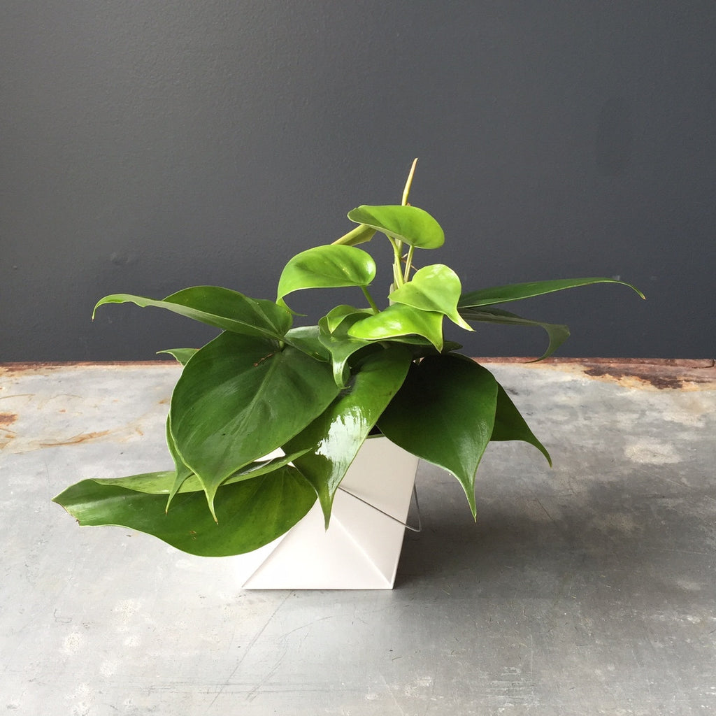 Philodendron - Heartleaf