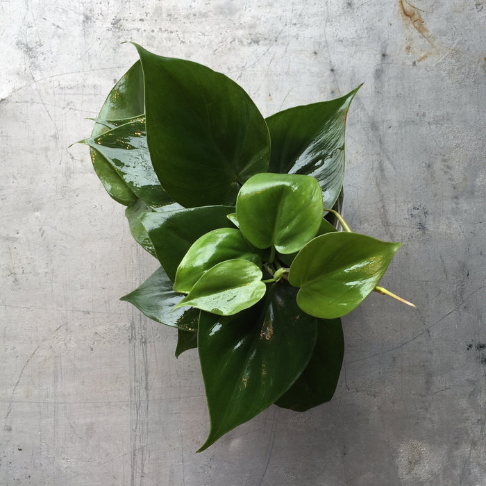 Houseplant - Philodendron Heartleaf