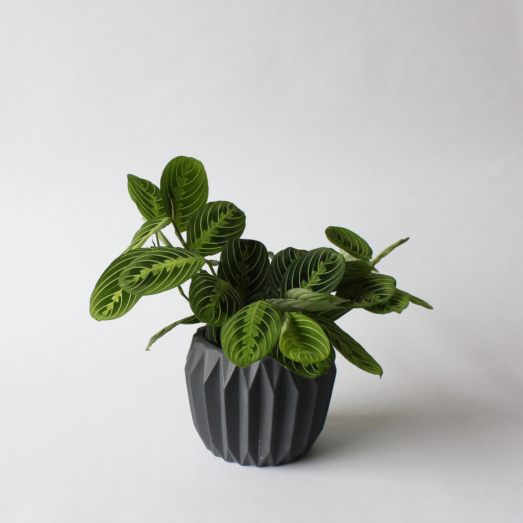 Maranta - Lemon Lime