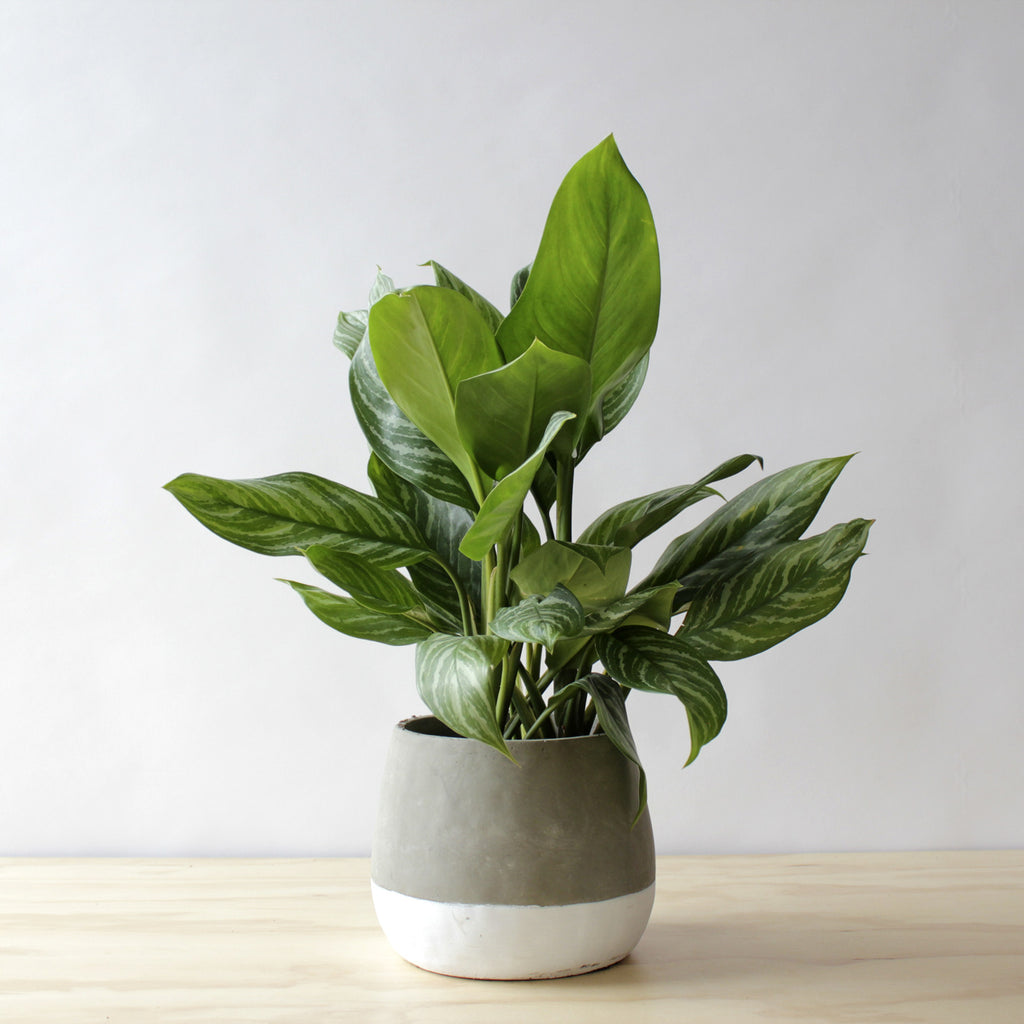 Aglaonema - Bay