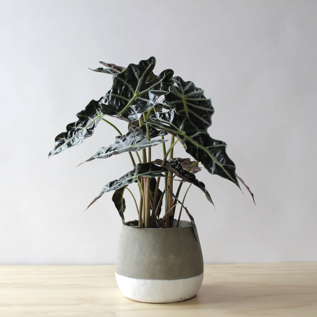 Houseplant - Alocasia Polly