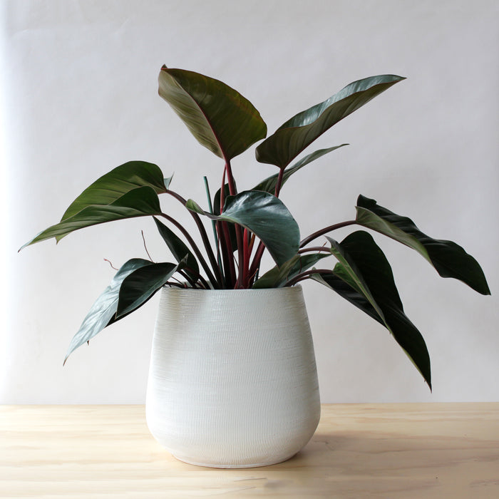 Houseplant - Congo Rojo Philodendron
