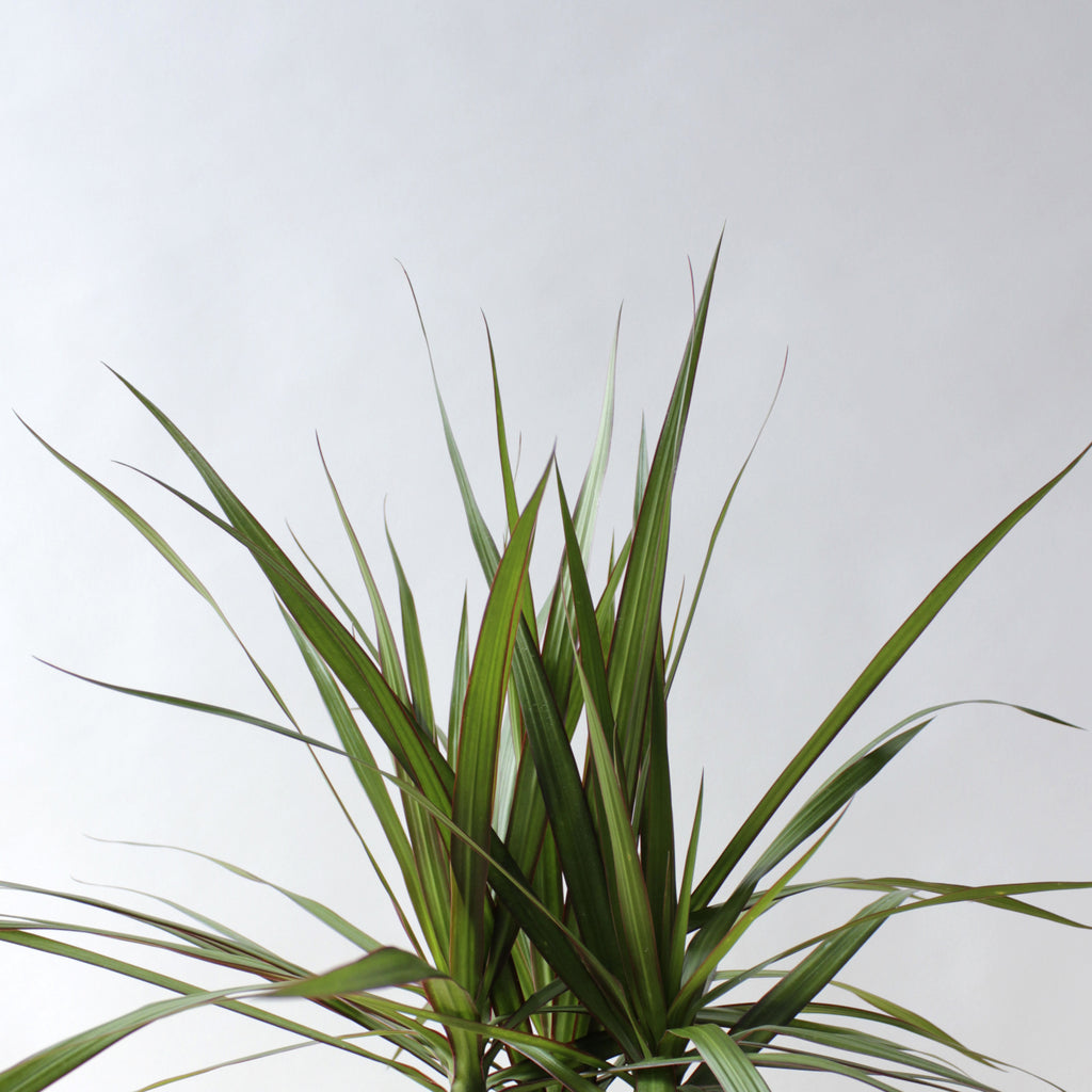 Dracaena - Marginata Tree