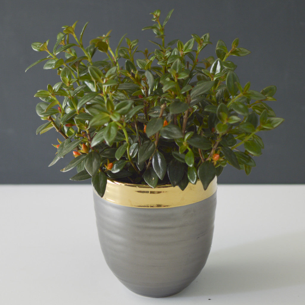 Potted Goldfish Plant