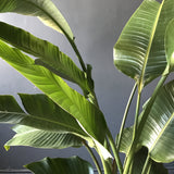 Houseplant - Banana Palm
