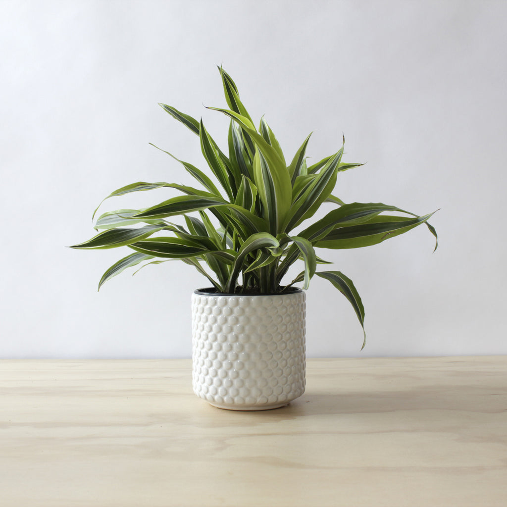 Dracaena - 'Lemon Lime'
