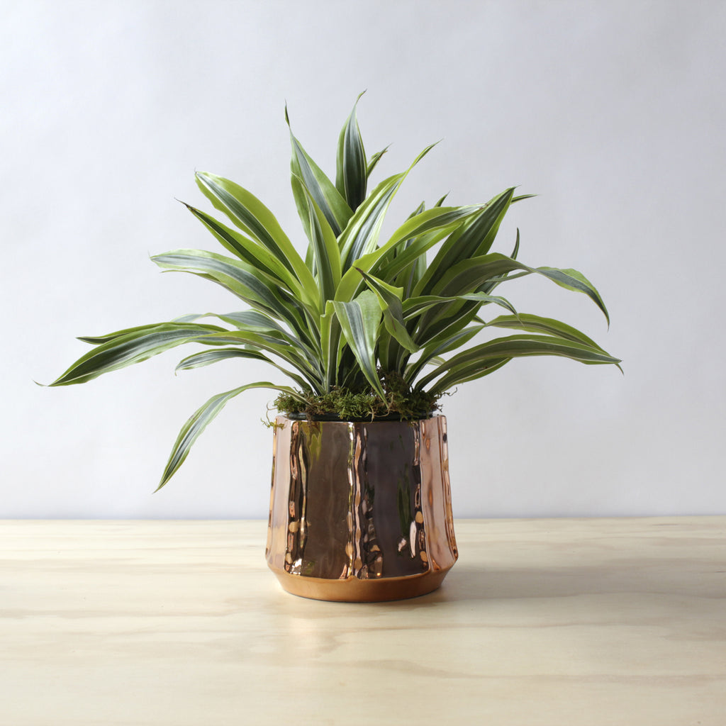 Houseplant - Dracaena 'Lemon Lime'