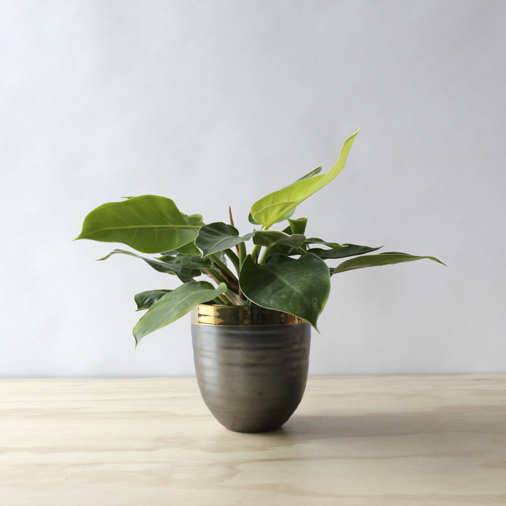 Philodendron - Moonlight