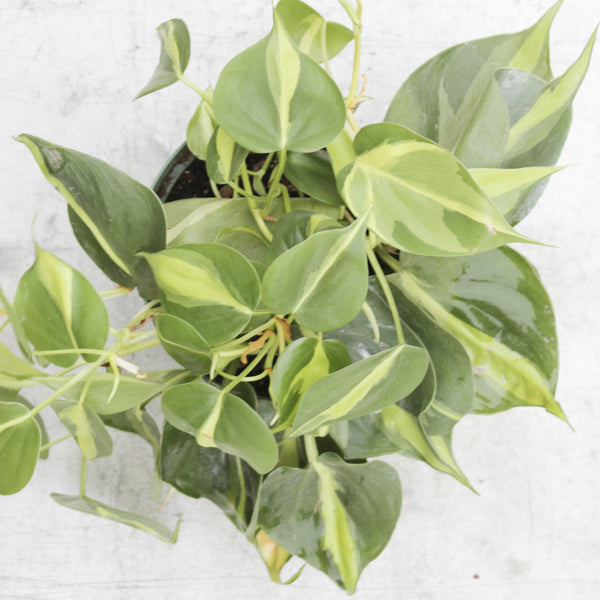 Houseplant - Brazil Philodendron
