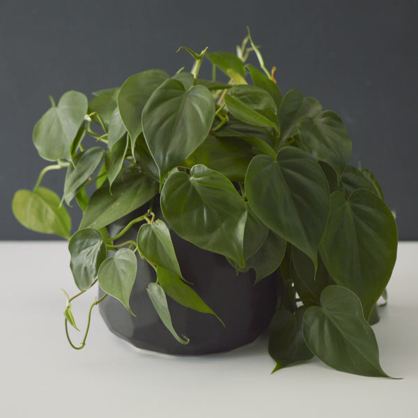 Potted Heartleaf Philodendron
