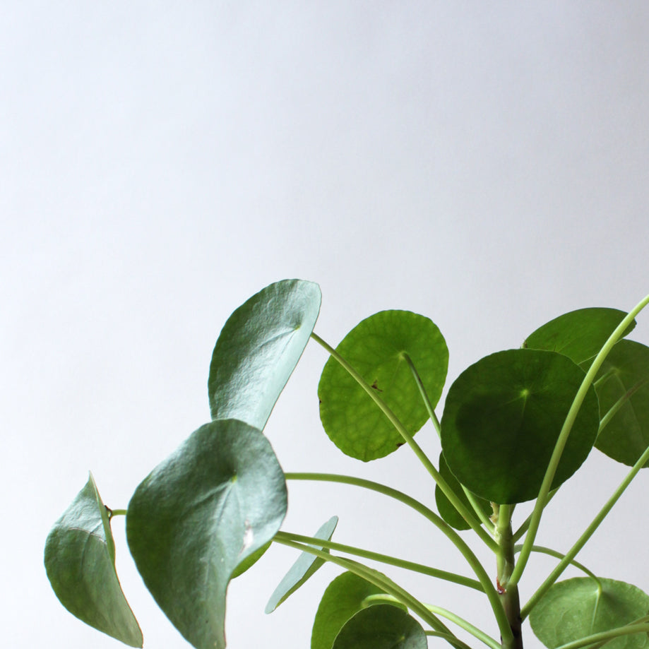 Pilea - Peperomioides (Chinese Money Plant)
