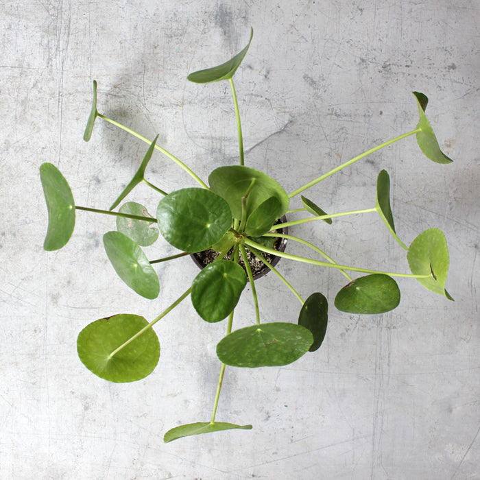 Houseplant - Chinese Money Plant (Pilea Peperomioides)