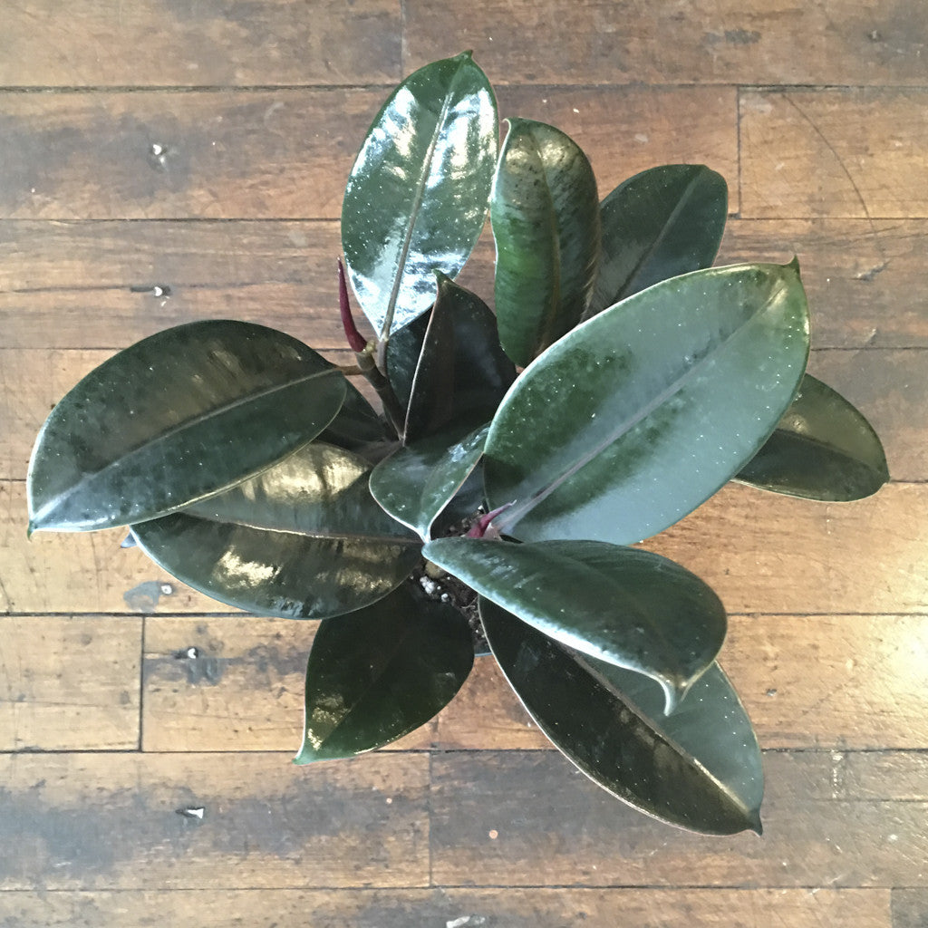 Houseplant - Rubber Tree Ficus