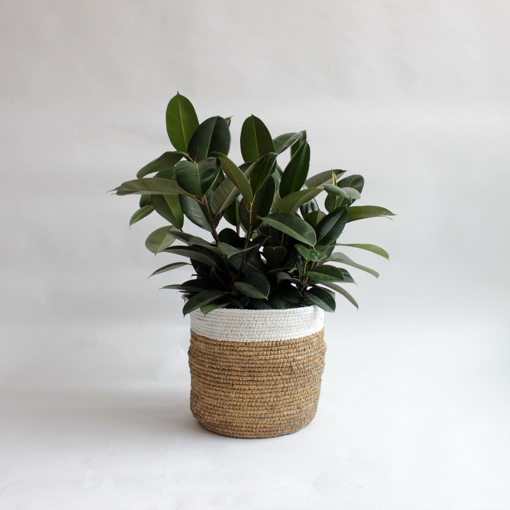 Ficus - Rubber Tree