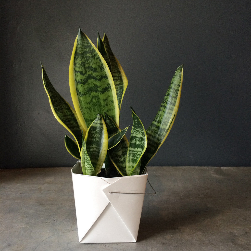 Sansevieria - Black Gold