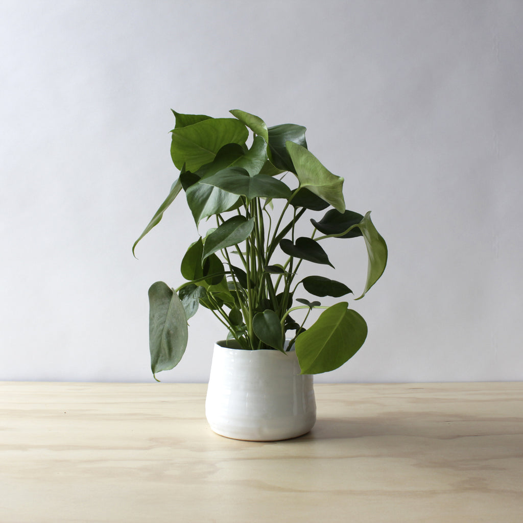 Philodendron - Splitleaf Monstera