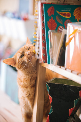 tabby cat with books