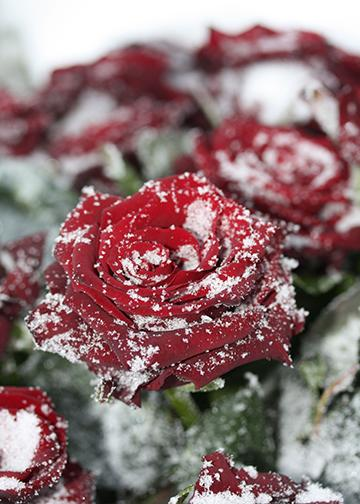 Snowy Rose, DoorWrap - Door Decoration