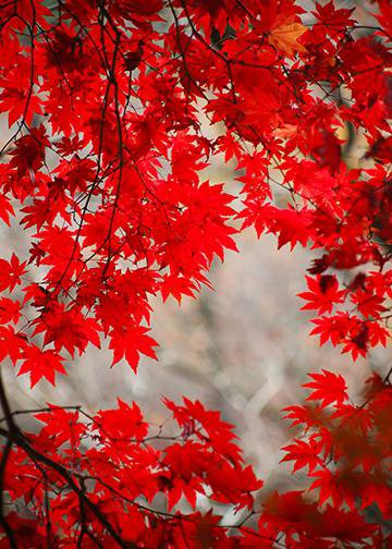 Red Fall Leaves, Door Cover - Door Decoration
