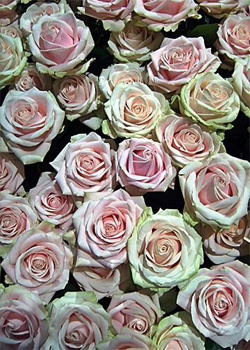 Roses Galore, Door Cover - Door Decoration