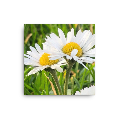 """Sometimes it takes two"" White Daisy Flower Canvas - Nature of Flowers"