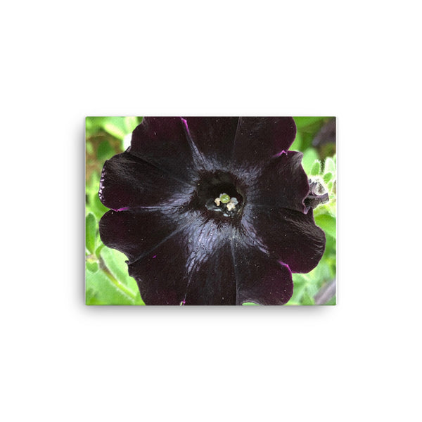 """As mysterious as the night sky"" Purple Black Flower Canvas - Nature of Flowers"