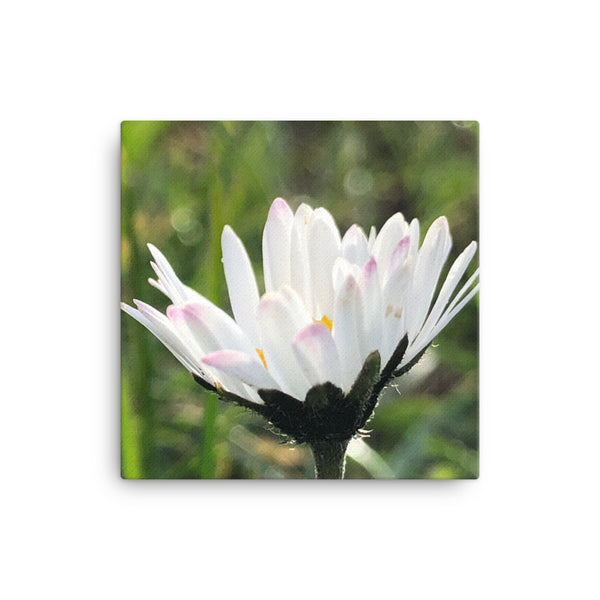 """There is always a way forward with positivity"" White Daisy Flower Canvas - Nature of Flowers"